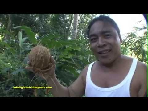 WORLDS FASTEST COCONUT HUSKER, WITH TEETH. BOHOL ISLAND, PHILIPPINES