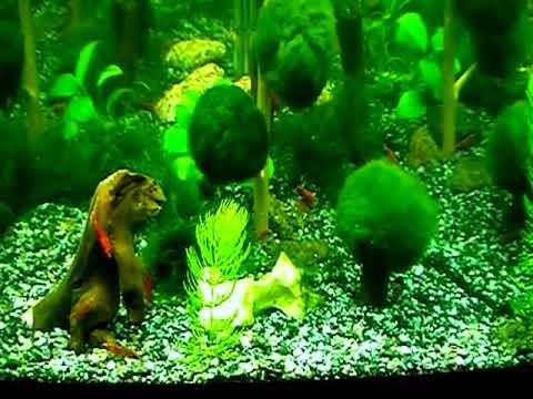 Пресноводный аквариум аквариумные рыбки и беспозвоночные креветки, раки, крабы и улитки в интернет-магазине живая вода по цене от 40 руб. Широкий выбор и доставка по всей россии.