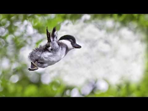 Duckling jump