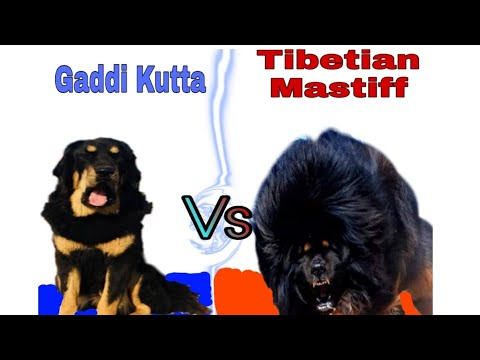 Top 10 Indian Guard Dog Breed Top 10 List Indian Guard Dog