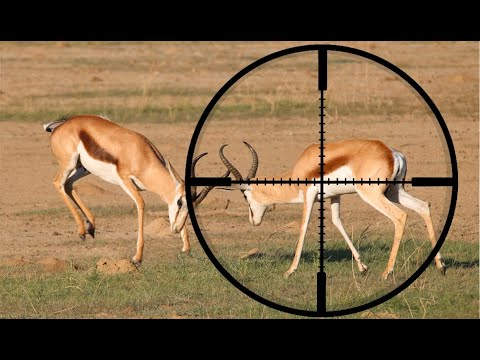 Springbuck Safari | South Africa Free Range Hunting