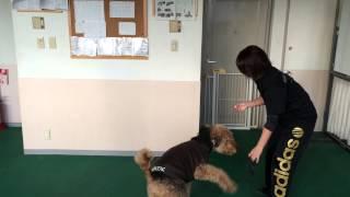 神戸愛犬のWライセンスコース授業で自分家犬のエアデールテリアを連れ...