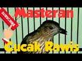 Masteran Cucak Rawis Gacor Cocok Untuk Murai Batu Gacor  Mp3 - Mp4 Download