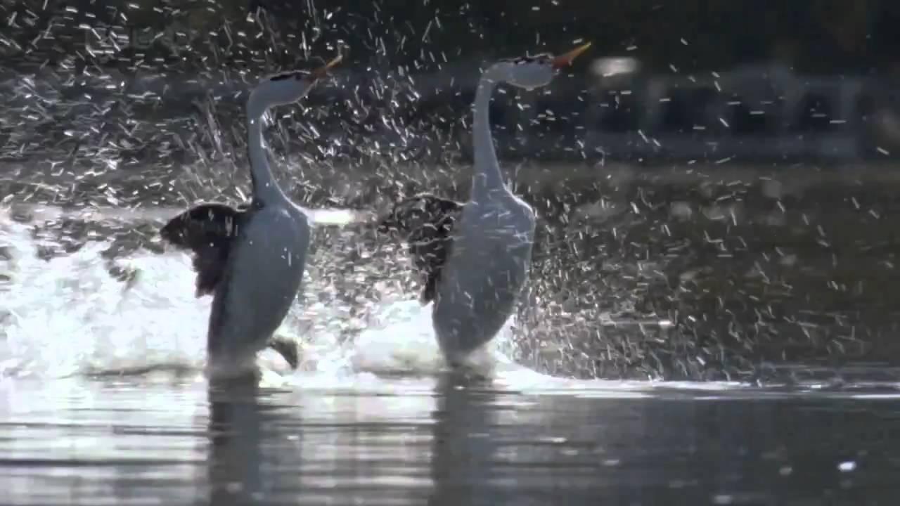 9 Bizarre Bird Mating Rituals | Mental Floss