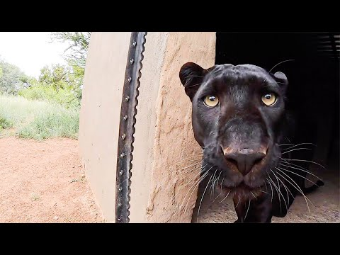 Typical Black Leopard Behaviour | The Lion Whisperer