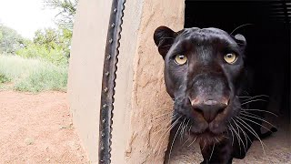 Typical Black Leopard Behaviour | The Lion Whisperer