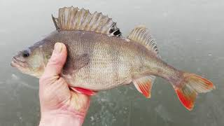 Первый трофей в Новом 2021 году Окунь на блесну Рыбалка в Беларуси