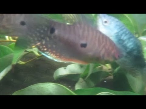 Thumbnail: Peaceful Inquisitive Gouramis (Uncut Underwater Footage)