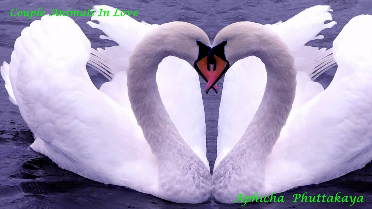 happy valentines day animals in love rak prakasit by lula hd 1080p youtube - Valentines Animals