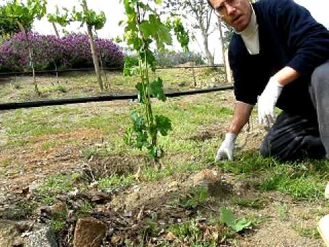 Training And Thinning Young Grape Vine To 2 Shoots Youtube