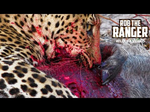 Screaming Warthog Killed By Leopard In South Africa