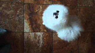 White Pomeranian In The Uk At Pomlake Pomeranians (saber)