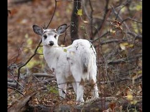 Rare white piebald deer fawn - YouTube