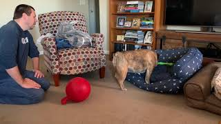 reuben-the-bulldog-christmas-gift-exchange-with-lincoln-s-world