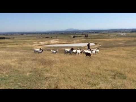 Jess red/tan kelpie working goats