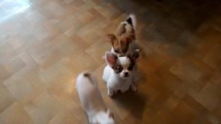 Купить щенка чихуа-хуа в Москве недорого, мини, РКФ.89055466692