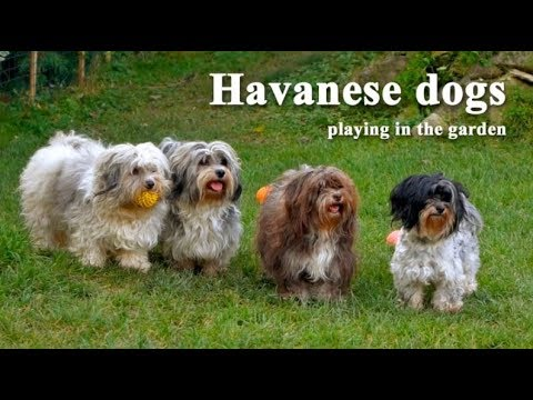 Havanese dog is very smart, eager to please its owner | Popular dog information