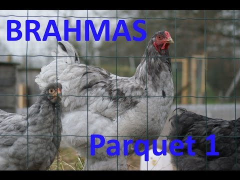 Parquet 1 : celui du coq brahma bleu Ayd-N