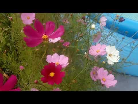 Космея цвететочень красиво!!!