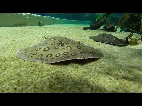 """""""A Second Chance for Rescued Stingrays"""" by Aquarium Love Stories"""