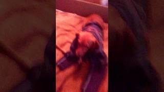 Первая собака в мире которая не ходет на одетой