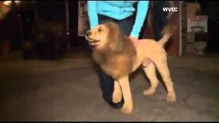Dog Mistaken For Lion Prompts 911 Calls