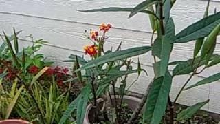 Milkweed plant - Monarch butterfly