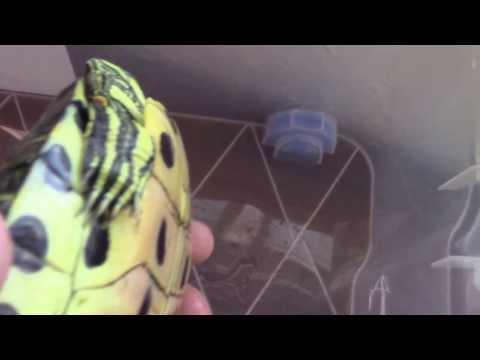 Una mascota:El galápago de Florida (Trachemys scripta elegans)