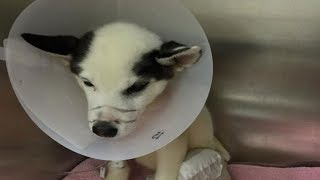 This Husky Was Horrifically Abused By Two Marines, But His Heartbreaking Story Didn't End There