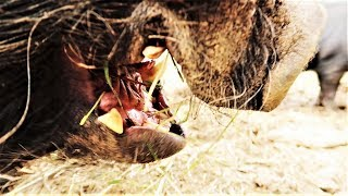 WHY HOGS ARE SO DANGEROUS
