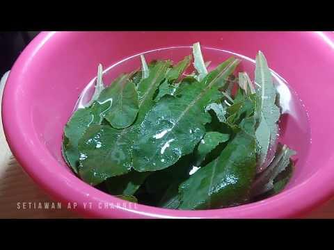 membuat-obat-herbal-dari-daun-tempuyung-untuk-penyakit-batu-ginjal