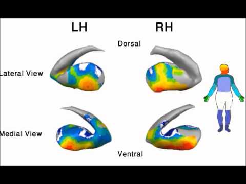 Brain activations in the putamen and globus pallidus in response to movement of different body parts
