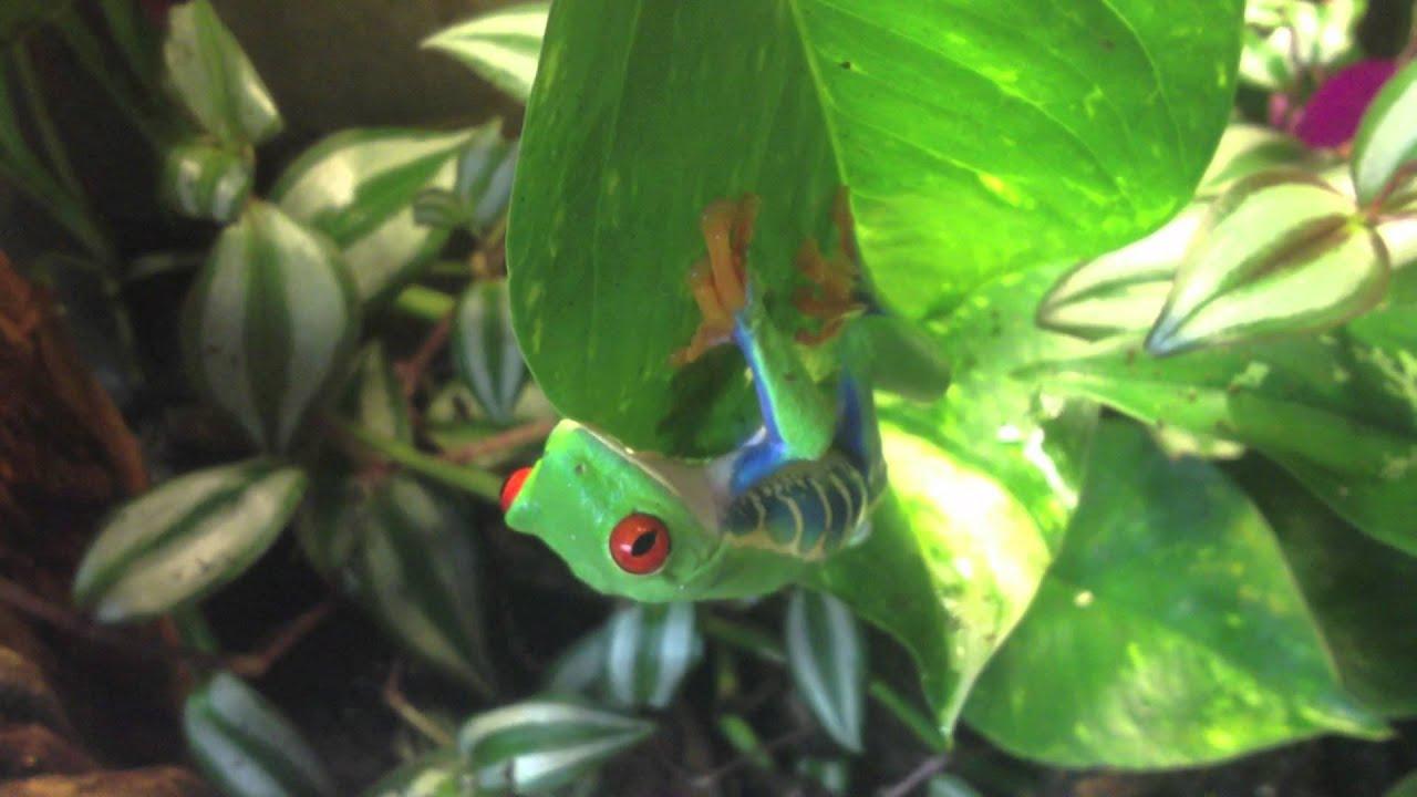 Red Eyed Tree Frog Terrarium Youtube