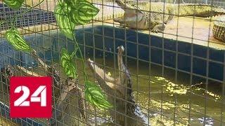 На необычной ферме в Подмосковье выращивают крокодилов - Россия 24