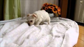 マルチーズの子犬、生後43日。