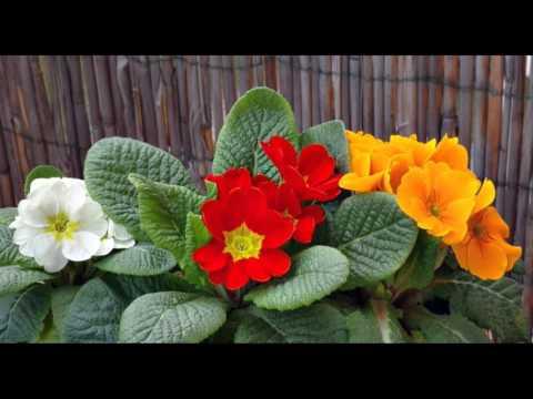 Фиалка домашняя (сенполия) – сорта, виды, описание, уход