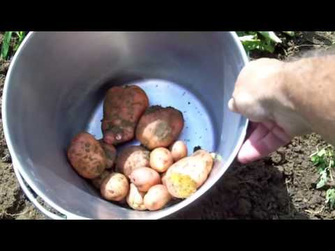 Grow Your Own Food   Potatoes