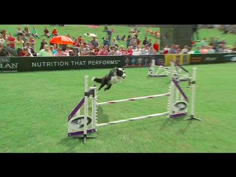 Large Dog Agility Winner - 2016 Purina® Pro Plan® Incredible Dog Challenge® National Finals
