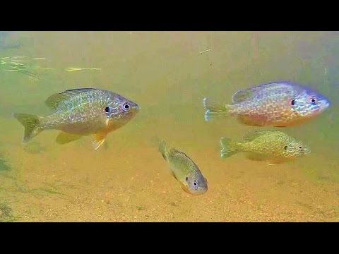 Pumpinseed (Lepomis gibbosus) Sunfish (Centrarchidae) Galore! (with music)