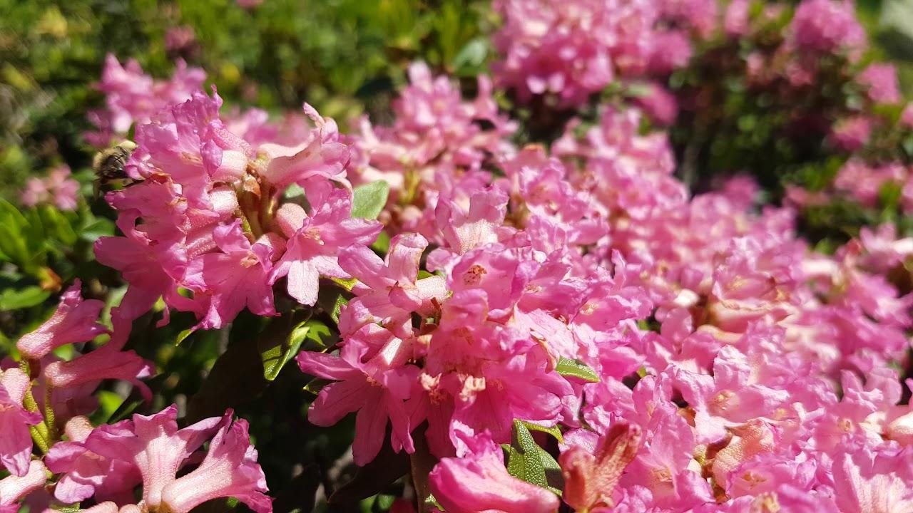 Alpenhonigbienen auf Nektarsuche in den Alpenrosen