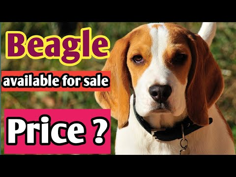 ye cute beagle dog available hai sale ke liye | beagle facts