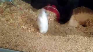 Backflips by my hamster
