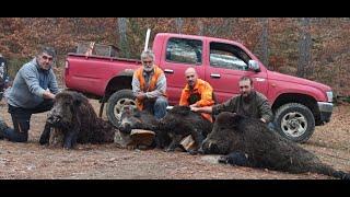 Κυνήγι αγριογούρουνου. Κοπάδι../Wild boar hunting Greece. (Δάσος ελατιάς)