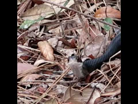 Hiking in Central Florida and a Black Racer