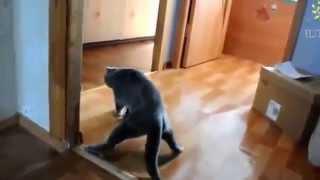 Смешные пьяные кошки