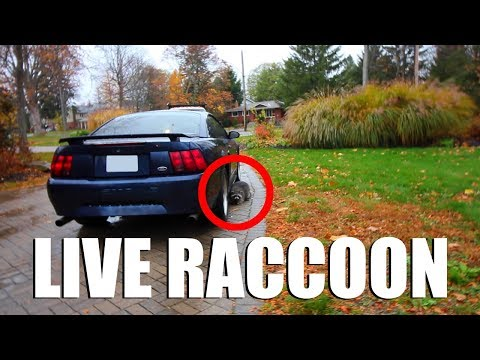 HOW TO INSTALL A RACCOON (LIVE ANIMAL)