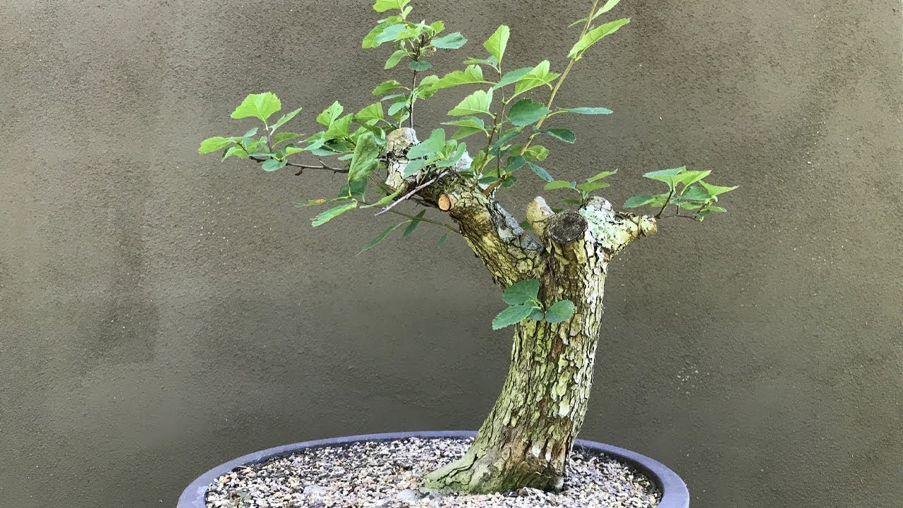 Collecting For Bonsai Hawthorn Boothe Farm 3 Youtube