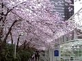 Vancouver Spring Cherry Blossoms Diana Walker video