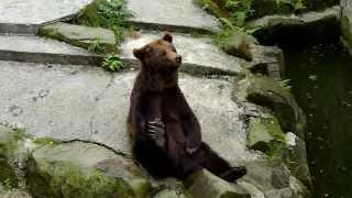 Niedźwiedź brunatny ZOO Chorzów
