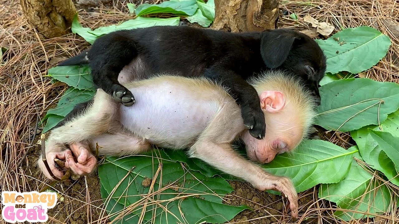 Cute moments of baby monkey and puppies when sleeping